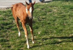 Veterinarians at the MU Veterinary Health Center diagnosed Maggie, a 2-week-old paint filly, with bilateral pleuropneumonia, a severe infection that is uncommon in foals.